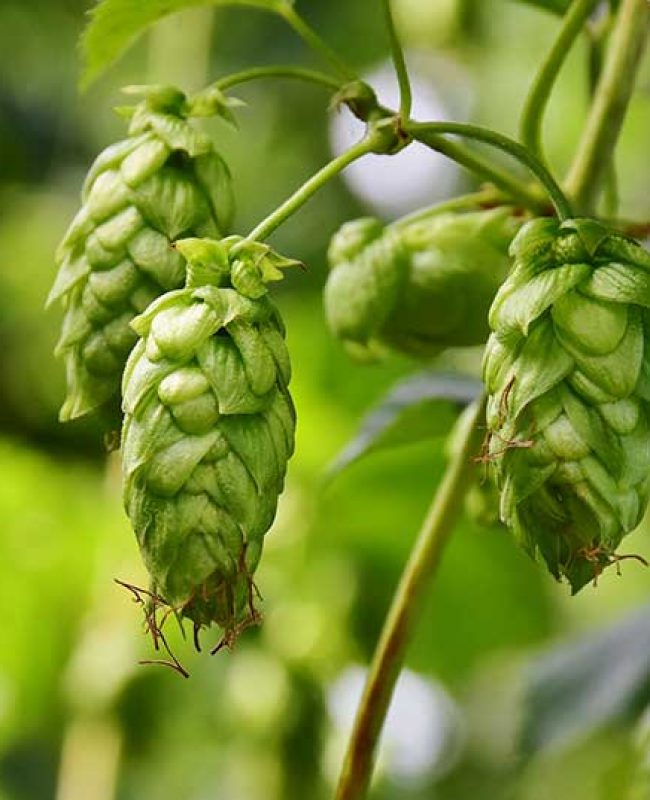 hops_products